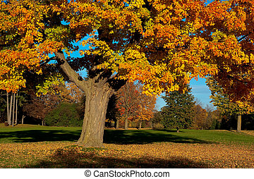 Giant Maple Tree in Fall Colors - An old maple stands over a...