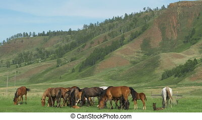 Wild horses graze in a meadow. Horses eat grass, graze, wag...