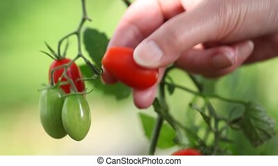 Hand picking tomatoes from plant to vegetable garden, close up