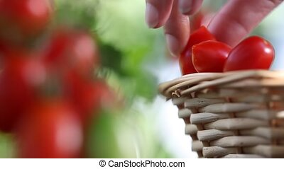 Hand picking tomatoes from plant to vegetable garden, with...