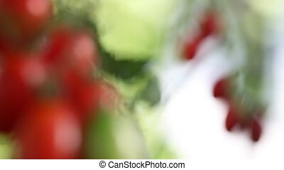 cherry tomatoes plants in vegetable garden, focus and blur
