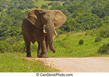 Large African elephant walking on a gravel road - African...