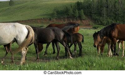 Domestic horses graze in a meadow. Horses eat grass, graze,...