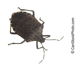 smelly bug - Stink bug that has been isolated on a white...