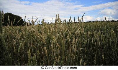 Wheat ears in field. - Ears of wheat.Grain field.Background...