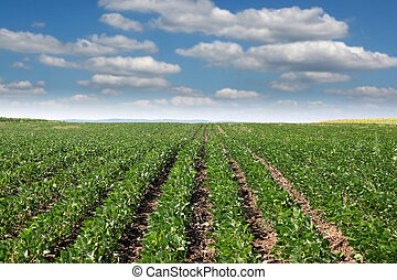soybean field summer season agriculture