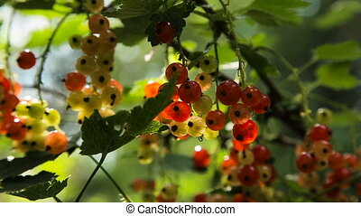 Branch of red currant - Red Currant hanging on a bush in the...