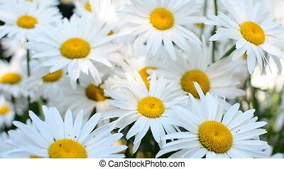 Daisies in wind - Group of big white garden daisies swaying...