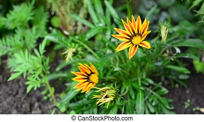 Gazania - High angle view of the Gazania (Daybreak Red...