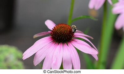 Bee pollinating a flower - Bee pollinating an Eastern purple...