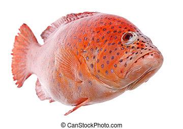 pez,  tilapia, rojo, aislado