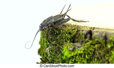 cricket  isolated on a green background