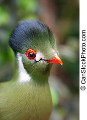 Turaco - A tropical green bird, turaco