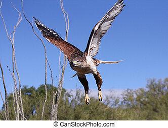 Hawk Flight