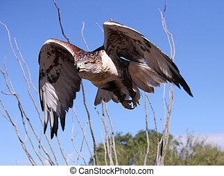 Hawk Attack - Hawk on the attack