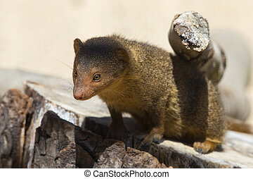 Dwarf Mongoose - A Dwarf Mongoose - a small African...