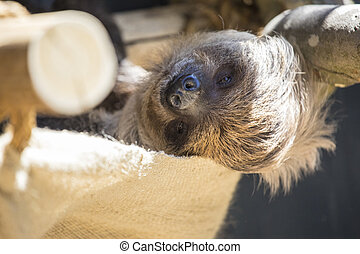 Sloth - A sleepy looking Sloth looking into the camera lens.