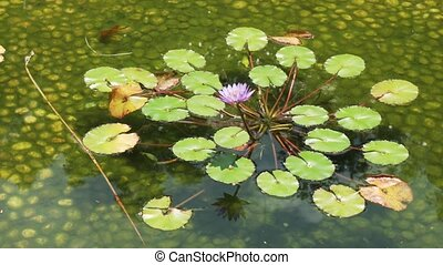 Decorative pond with water lilies and fish stock footage video