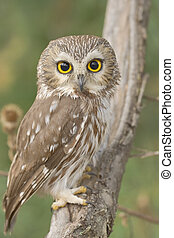 ontario birds - Northern Saw-whet owl, one of smallest owls,...