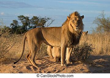 African lions (Panthera leo), Kalahari desert, South Africa...