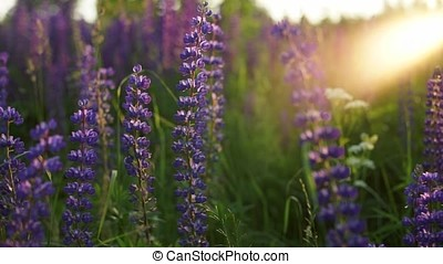 Lupine thickets in the sunset. - Thicket of wildflowers in a...