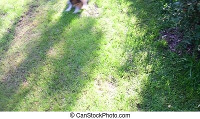 Dog fetches the ball. Dogs play in the backyard. - Dog...