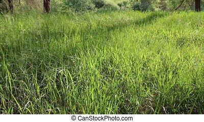 Long Green Grass in Blowing Wind - Swinging Grass in Field,...