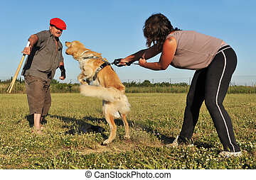 training of attack dog - training of a purebred hovawart in...