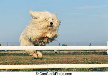 jumping dog - jumping purebred maltese dog in a training of...