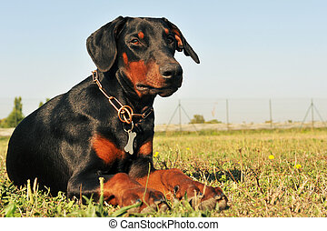 doberman - purebred black doberman laid down in a field