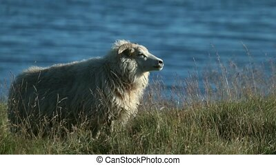 A white big sheep stands against the background of the water in the field. Andreev.