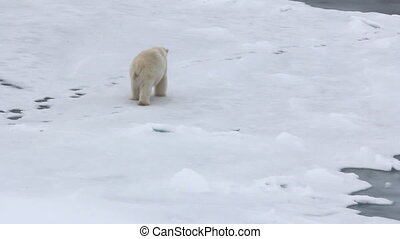 Polar bear at North pole. Fat bear male goes back - Polar...