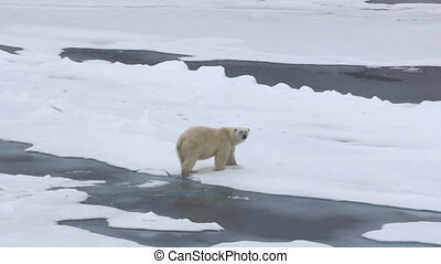Polar bear at North pole. Male goes ice gush and presses paw...