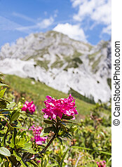 Hairy Alpenrose mountain in Background in the Alps in...