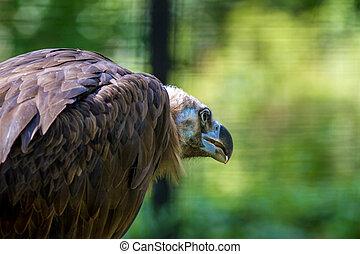 gyönyörű, nagy, griffmadár, madár, állat