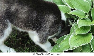Husky dog buries a bone