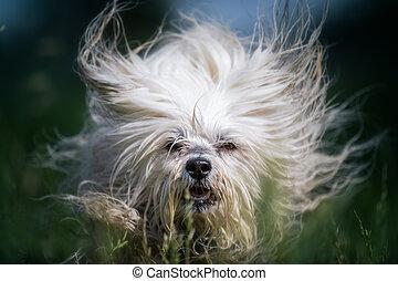 Wilde Haarpracht - Kleiner weißer Hund beim toben in einer...