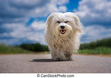 Hund im Sommer - Kleiner weißer Hund läuft auf die Kamera zu