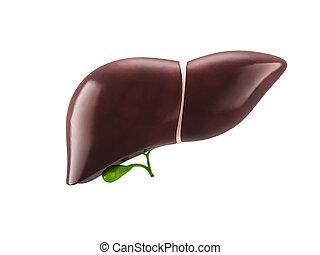 human liver illustration
