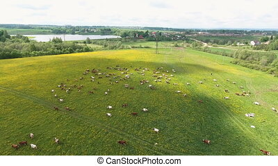 Flying over green field with grazing cows. - Aerial view of...