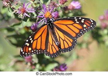 Monarch Butterfly (danaus plexippus) on fall flowers