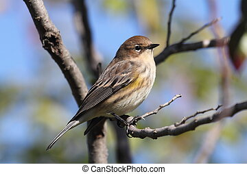 Yellow-rumped Warbler (Dendroica coronata) perched in a tree