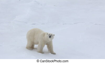 Polar bear at North pole (86-88 degrees). Fat bear male -...
