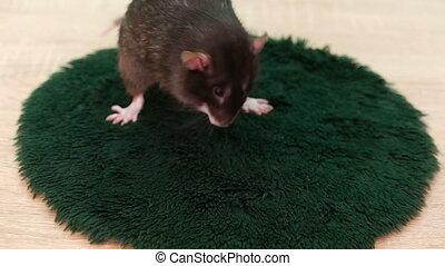 Animal gray rat washing close-up