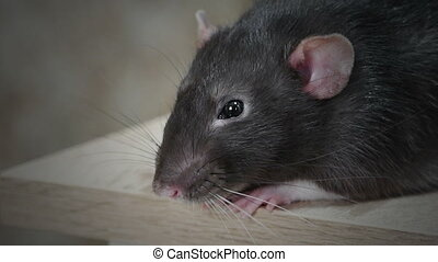 Animal domestic gray rat close-up
