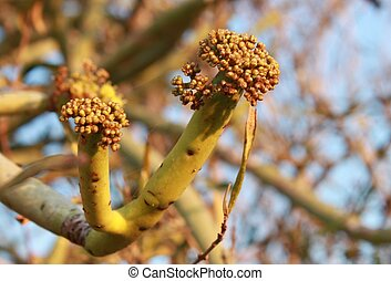 Miniscule bud-clusters - Minuscule bud-clusters of a native...