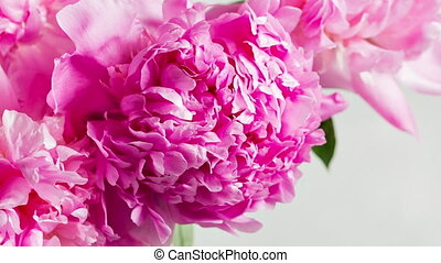 Pink peony flower on a white background.