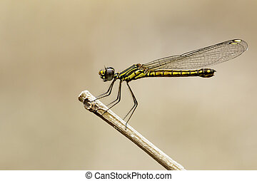Image of Libellago lineata lineata dragonfly on dry...