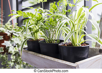 Home and garden concept of spider plant and fern in pot on...