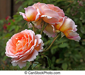 Rose Abraham Derby - The Abraham Darby rose has blooms that...